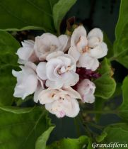 Clerodendrum chinense