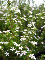 Coleonema pulchrum - Diosma