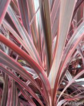 Cordyline australis \'Pacific Sunrise\'