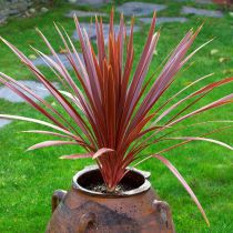 Cordyline australis \'Red Star\'