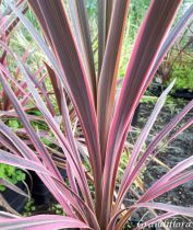 Cordyline australis \'Southern Splendour\'