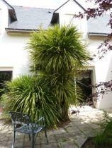 Cordyline australis, arbuste persistant ressemblant à un palmier aux feuilles linéaires vertes.