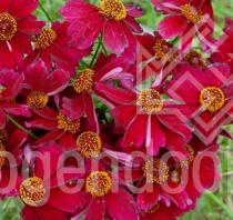 Coreopsis \'Limerock Ruby\'