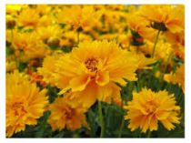 Coreopsis grandiflora \'Early Sunrise\'