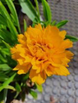 Coreopsis grandiflora \'Early Sunrise\'