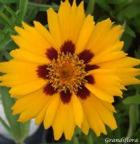 Coreopsis grandiflora \'Sunfire\'