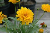 Coreopsis grandiflora \'Sunray\'