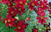 Red-Satin-Coreopsis