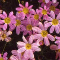 Coreopsis rosea \'American Dream\'