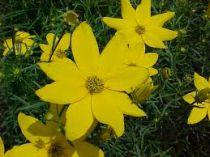 Coreopsis verticillata \'Zagreb\'