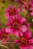 Coreopsis \'Garnet\', vivace au feuillage caduc fin vert et aux aux fleurs en marguerite rose à coeur pourpre en été.