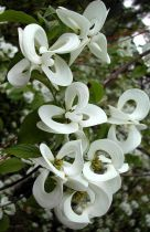 Cornus * florida \'Urbiniana\'