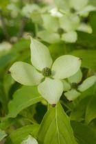 Cornus * kousa \'Bultinck\'s Giant Flower\'