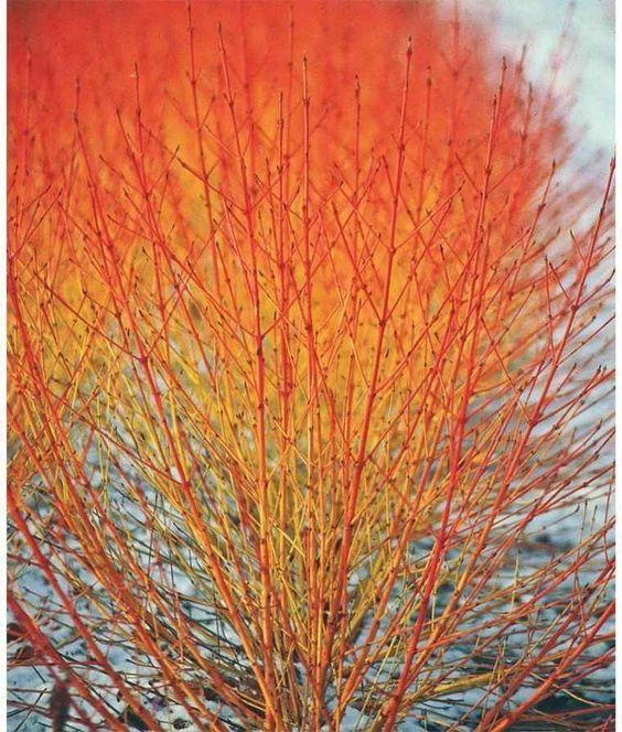 Cornus * sanguinea \'Midwinter Fire\'