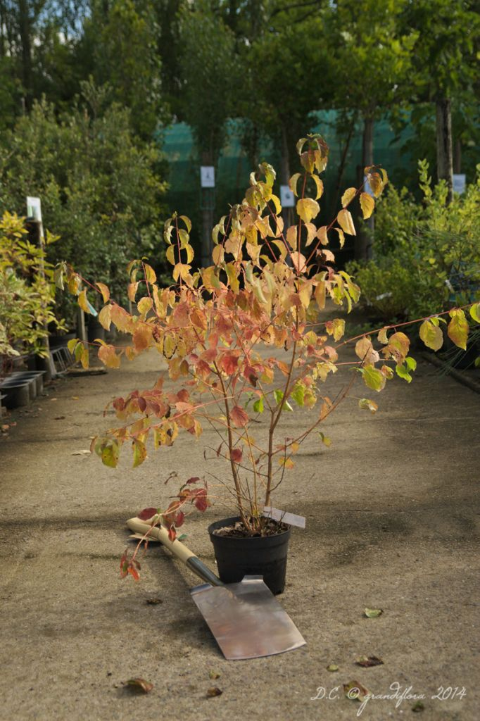 Cornus * sanguinea \'Winter Flame\'