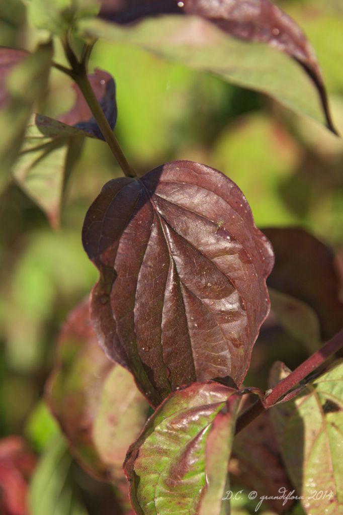 Cornus * sanguinea