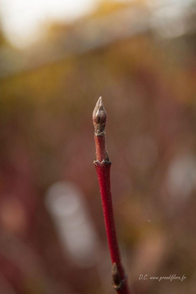 Cornus alba \' Gouchaultii \'