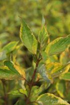 Cornus alba \'Gouchaultii\', arbuste caduc au feuillage panaché vert et jaune virant au rouge et au bois rouge très décoratif en hiver.