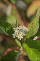 Cornus alba, arbuste caduc au feuillage vert prenant des couleurs d\'automne, fleurs blanc crème au printemps suivies de fruits blanc bleuté à l\'automne.
