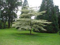 Cornus alternifolia \'Argentea\'