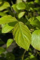 Cornus florida, arbuste à feuilles caduques vertes et rouges pourpres à l\'automne. Floraison blanche au printemps.