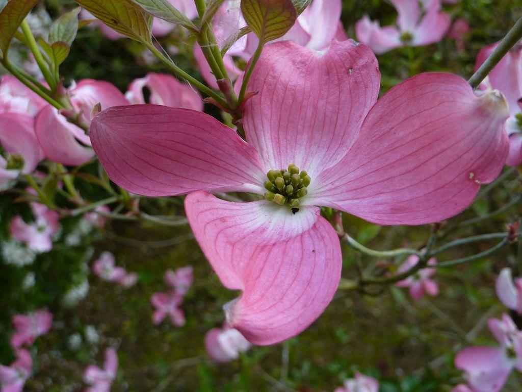 cornus florida rubra, gros arbuste ou petit arbre caduc à floraison verte à bractées rose vif au printemps.