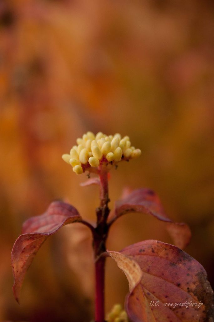 Cornus sanguinea \'Winter Flame\'