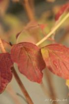 Cornus sanguinea Winter flame, arbuste caduc au feuillage vert prenant des couleurs orange cuivré à l\'automne.fleurs blanches au printemps suivies de fruits rouges. Bois très décoratif orangé en hiver.