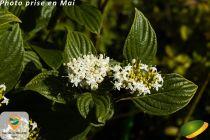Cornus stolonifera \'Flaviramea\'