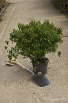 Cornus stolonifera Kelsey, petit arbuste au feuillage caduc vert prenant des couleurs d\'automne rouges, bois décoratif rouge.