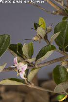 Correa alba rosea