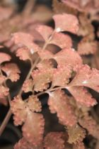 Corydalis quantmeyerana \' Chocolate Star\'