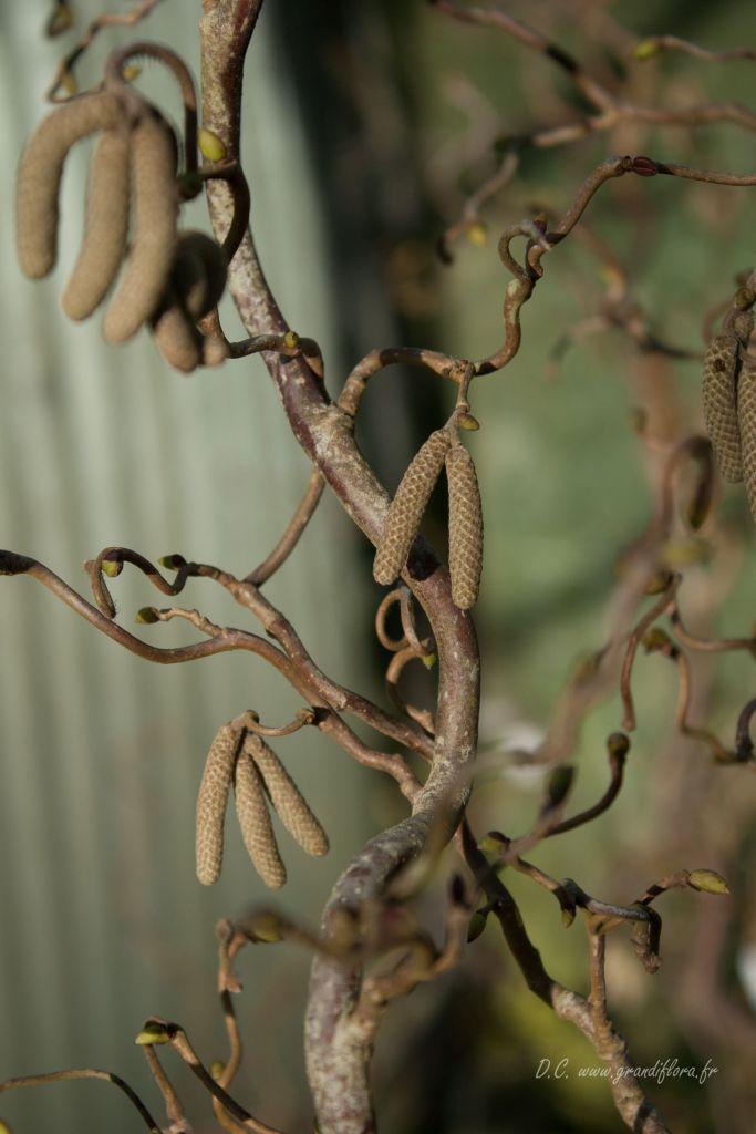 Corylus avellana \'Contorta\'