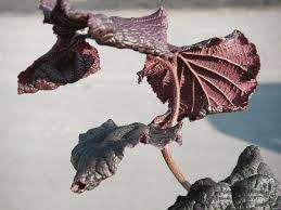 Corylus contorta Red majestic