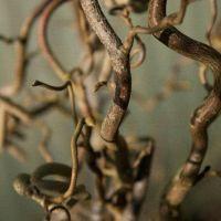 Corylus avellana Contorta, arbuste aux rameaux tordus très décoratifs en hiver, châtons jaunes au printemps et noisettes.