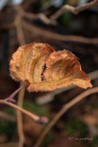 Corylus maxima \'Purpurea\'
