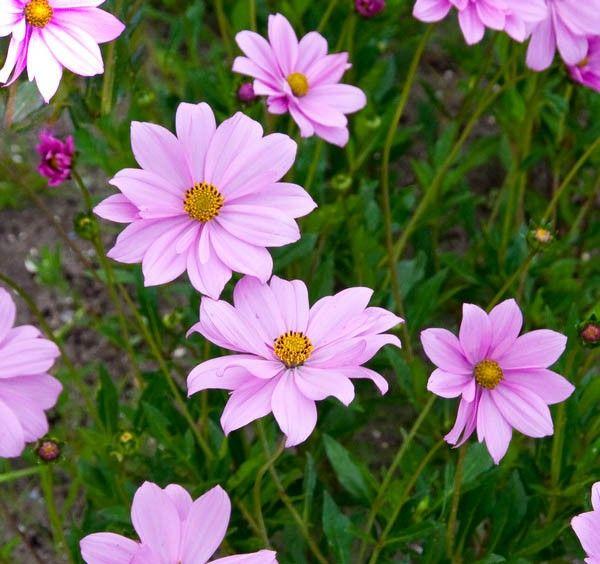 Cosmos peucedanifolium \'Flamingo\'