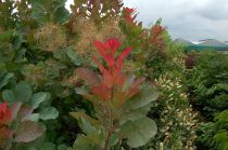 Cotinus coggygria \'Old Fashioned\'