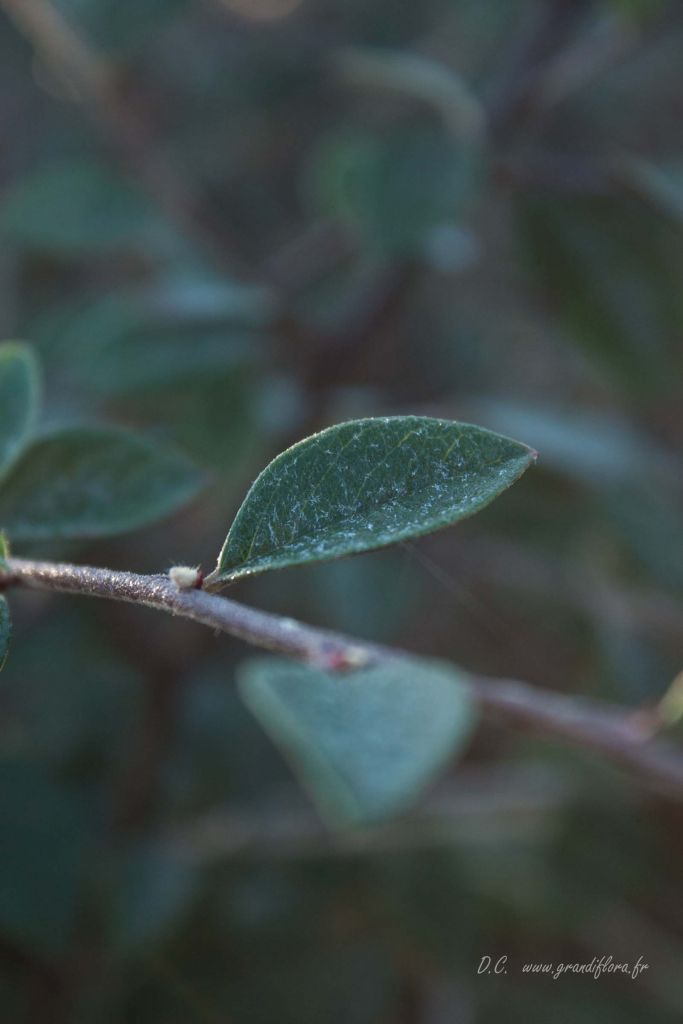 Cotoneaster* franchetii