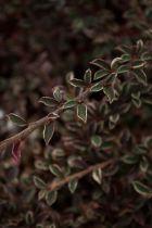 Cotoneaster* horizontalis \'Variegatus\'