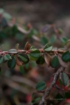 Cotoneaster* microphyllus \'Streib\'s Findling\'