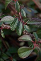 Cotoneaster dammeri, arbuste rampant persistant vert à floraison blanche au printemps et fruits rouges à l\'automne.