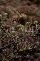 Cotoneaster horizontalis \' Variegatus \'