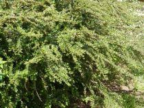 cotoneaster horizontalis, arbuste caduc à petit feuillage vert, floraison blanc rosé au printemps et fruits rouges à l\'automne.