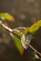 Cotoneaster lacteus