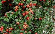Cotoneaster x suecicus \'Coral Beauty\'