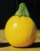 Courgette ronde jaune Floridor