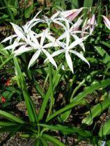 Crinum amoenum