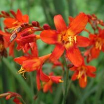 Crocosmia \'Babylon\'