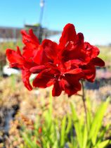 Crocosmia \'Hell Fire\'